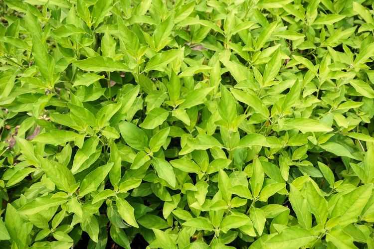 Rhinacanthus nasutus leaves in nature garden Herb Rhinacanthus Nasutus Beauty In Nature Close-up Evergreen Foliage Freshness Full Frame Green Color Growth Healthy Eating Herbal Houseplant Leaf Leaves Nature No People Organic Outdoors Plant