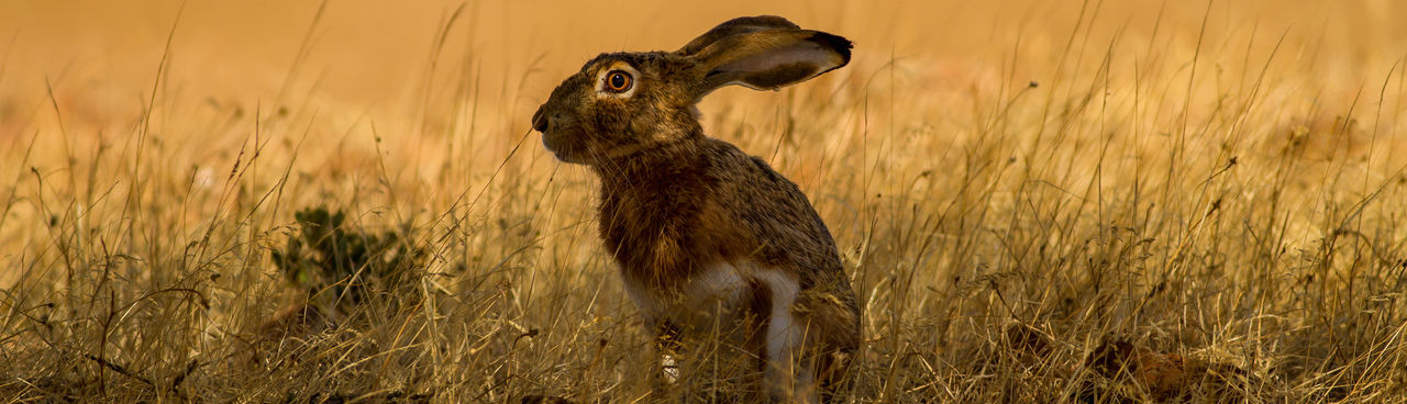 Close-up of hare on grassy land