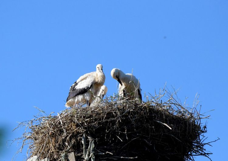Young storks