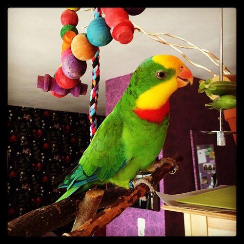 Uschi Schildsittich Parrot Parrots Parrotlove Pickmotion Birds Natur