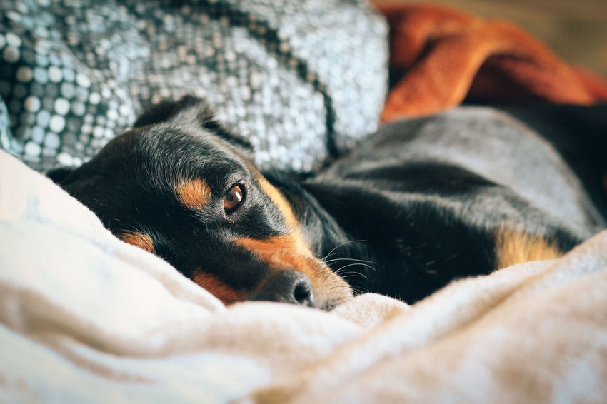 Affection Animal Animal Head  Brown Brown Eyes Close-up Comfortable Dog Dog In Bed Dogs Eye Contact Eye To Eye Focus On Foreground Home Indoors  Looking At Camera Love One Animal Pet Pets Portrait Relaxation Relaxing Pet Portraits