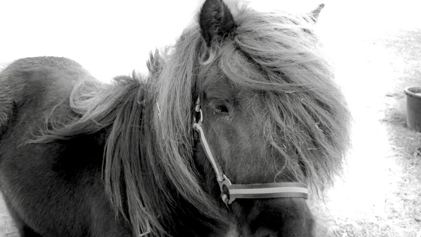 Pony Windy Day Black Curious Domestic Animals Animal Themes One Animal Horse Mammal Livestock Day Close-up Nature Outdoors No People Sky Black And White Monochrome Photography Windy Hair