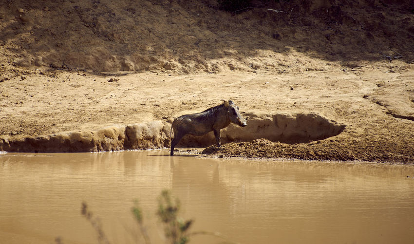 Warthog in water