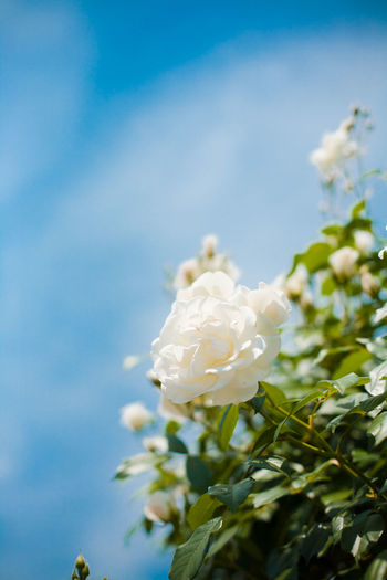 Close-up of white flowers blooming against sky