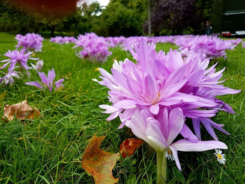 Purple Flower Plant Nature Beauty In Nature No People Flower Head Blooming Outdoors Pink Color Autumn Crocuses Autumn Crocus