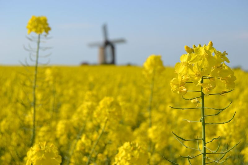 Rapeseed flowers, Bretagne, France Windmill Mill Mulinoavento Mulino Colza Giallo Fiori Rapeseed Field Rapeseed Colza Flower Flowering Plant Plant Yellow Beauty In Nature Growth Wind Turbine Field Rural Scene Turbine Nature Fragility Environment Landscape Wind Power Land Agriculture Freshness