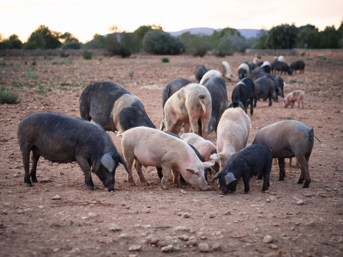 Mammal Animal Group Of Animals Animal Themes Livestock Domestic Animals Domestic Large Group Of Animals Landscape Land Vertebrate Agriculture Field Pig Nature Environment Young Animal No People Herd Outdoors Herbivorous Animal Family Pork Dirt Dry Animal Agriculture Farm Animal
