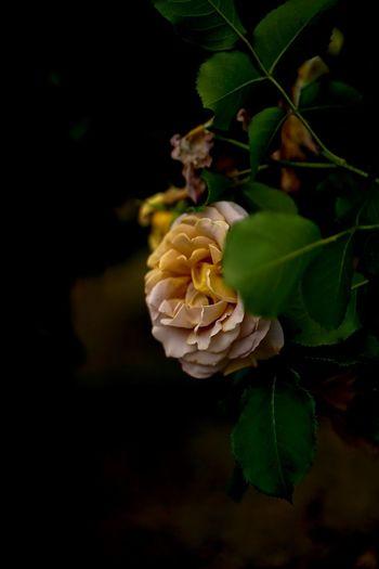 バラ祭りも終わって、明日から何を撮ろう。って、バラ祭りには行ってないけど(^^;; Beauty In Nature Blooming Blossom Botany Close-up Flower Flower Head Focus On Foreground Fragility Freshness Growth In Bloom Leaf Nature Petal Plant Rose - Flower Roses Roses🌹 Rose🌹 Selective Focus Stem バラ祭り