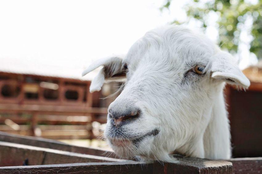 Goat Portrait Close-up Domesticated Animal Tag Herbivorous Farmland
