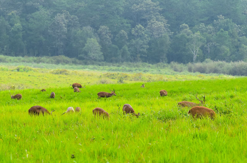 grop of deer in grassland Deer View Animal Background Copy Space Outdoors Season  Natural Beautiful Field Grassland Wildlife American Bison Tree Rural Scene Grazing Field Animal Themes Grass Landscape Sky Farm Animal Livestock Group Of Animals