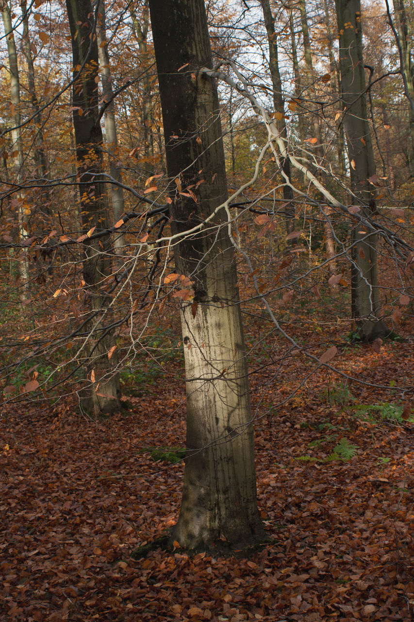 forest, tree, tree trunk, autumn, day, nature, no people, tranquility, outdoors, leaf, branch