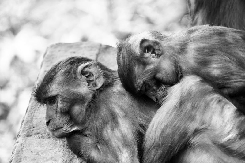 Wild Animals In The City Animal Photography Animal Portrait Black And White B & W Photography Black & White Photography Nepal Kathmandu Travel Photography Horizontal EyeEm Selects Animal Themes Animal Mammal No People Animals In The Wild Animal Wildlife Relaxation Group Of Animals Vertebrate Monkey Resting Two Animals Close-up Primate Focus On Foreground Ape Animal Body Part Animal Head