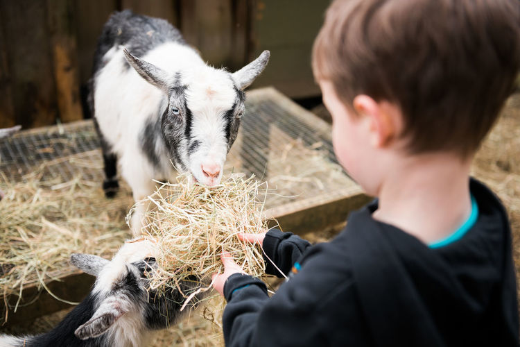 Close-Up Of Boy Feeding Goats