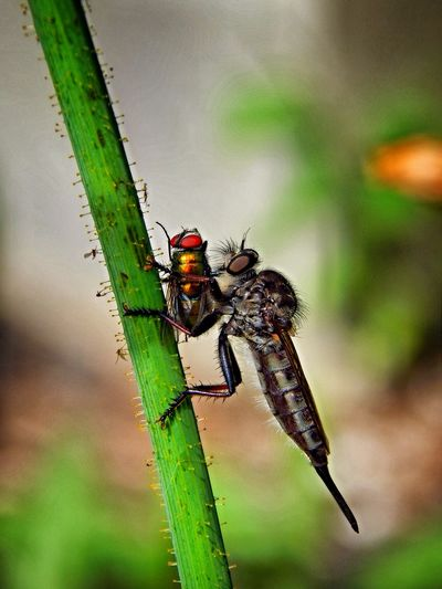 Close-Up Of Insect Hunting Housefly