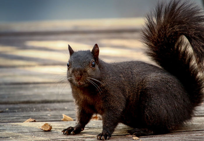 Frozen in time Black Squirrel Frozen In Time Animal Themes Animal Wildlife Animals In The Wild Black Fur Close-up Day Frozen In Place Furry Mammal Nature No People One Animal Outdoors Posing Rodent Squirrel Closeup Staring Wood - Material