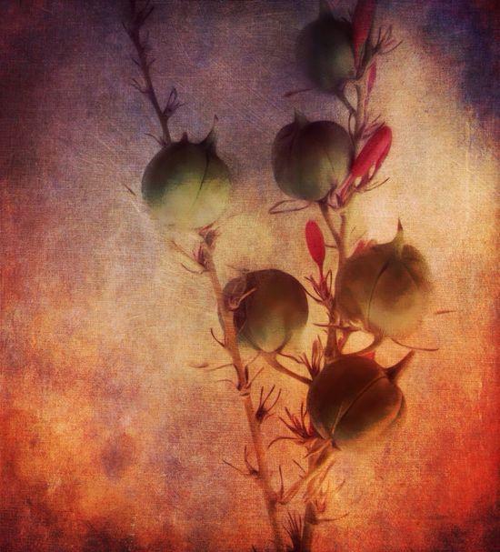Pods at Sunset. StillLifePhotography Mobile Art Phototransformation Photo Art Blooms Pods IPhoneography Digital Expression, Flower Art Joy,
