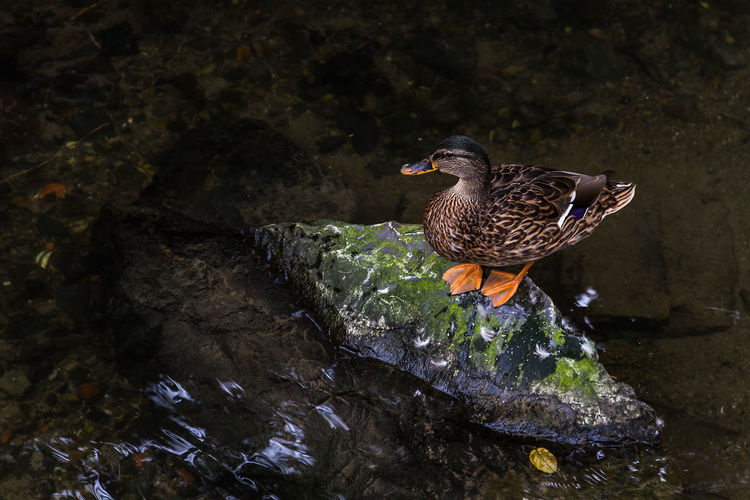 Anatidae Anatidae On A Rock In Water Animal Themes Animal Wildlife Animals In The Wild Beak Beauty In Nature Bird Close-up Day Duck Nature No People One Animal Outdoors Perching Rock - Object Water
