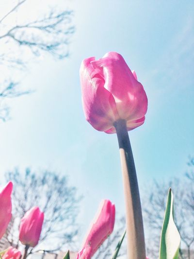 Tulips Flower Beauty In Nature Freshness Nature Pink Color Petal Flower Head Day Blooming Sunlight Plant No People Outdoors Low Angle View Cloud - Sky Park Bare Tree