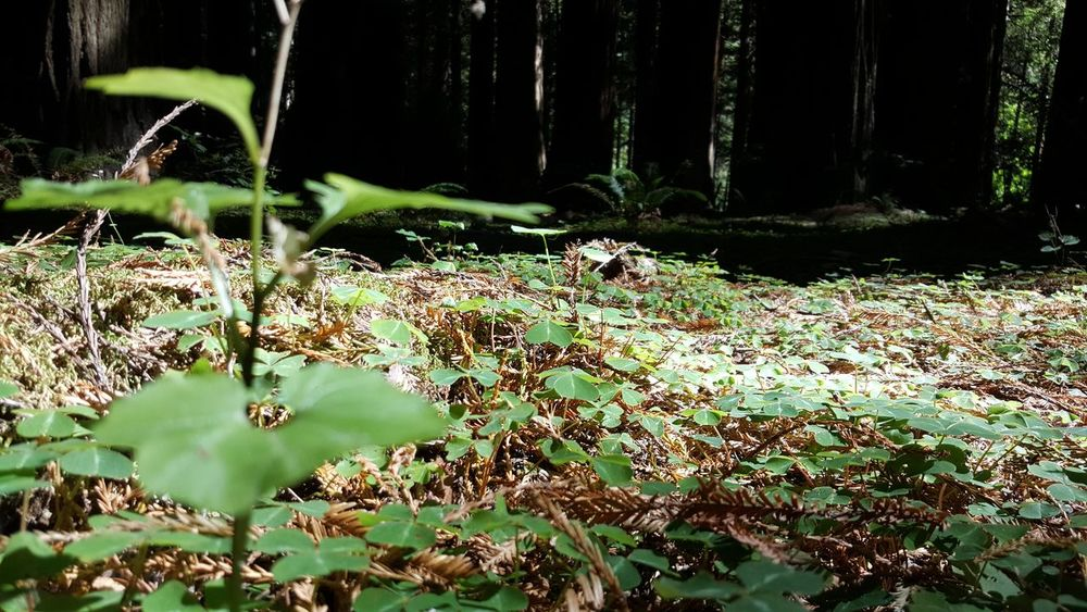 Bed of clovers among giants. Forest Tranquility Plant Growth Nature Non-urban Scene Scenics Beauty In Nature Tranquil Scene Green Color WoodLand Day Outdoors Vacations Freshness Green Fragility Wilderness No People Uncultivated