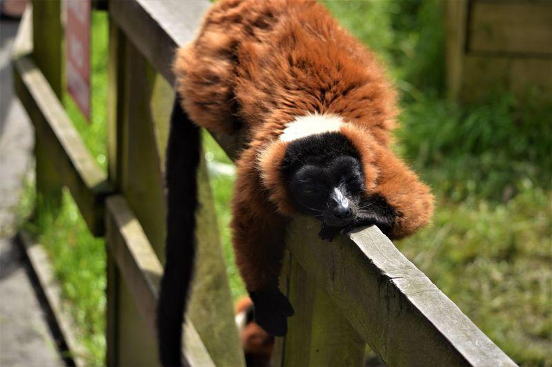Blair Drummond Safari Park Brown Chilling Lemur Outdoors Red Red Ruffed Lemur Relaxed Scotland EyeEmNewHere
