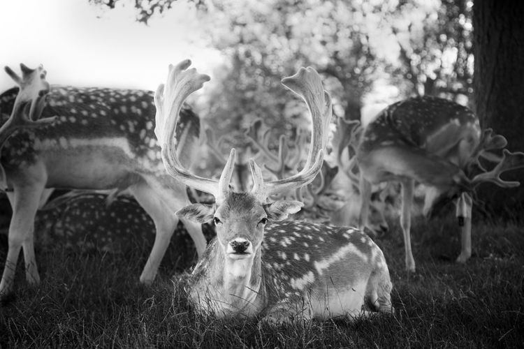 Deer Animal Themes Animals In The Wild Day Deers Field Grass Mammal Nature Outdoors Perspectives On Nature Black And White Friday The Great Outdoors - 2018 EyeEm Awards