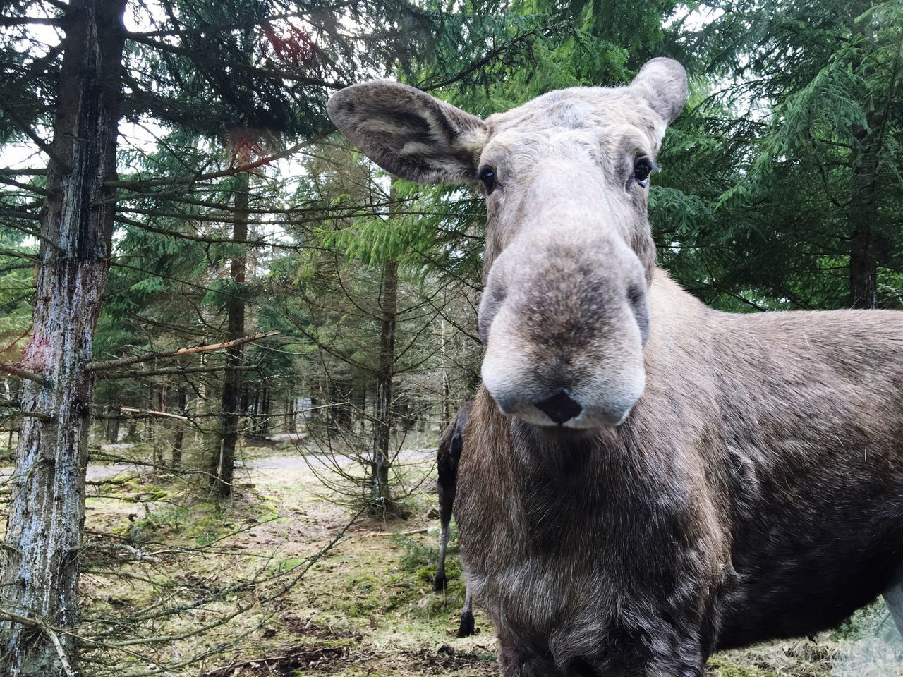 Moose by trees in forest