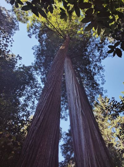 Tree Growth Sky Nature Low Angle View No People Beauty In Nature Tree Trunk Forest Tree Canopy  Treetop Outdoors Day Tranquil Scene Scenics Freshness Muir Woods California