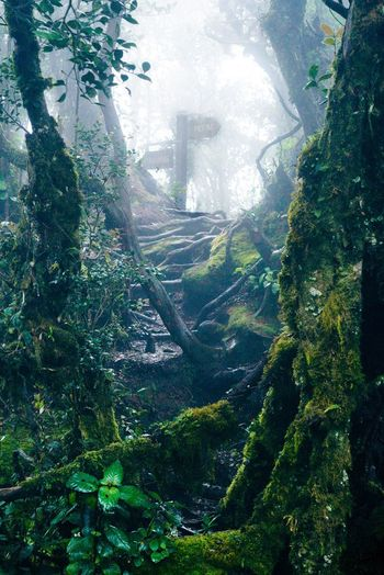 Mossy Forest Cameron Highland Malaysia Tree Nature Green Color Mountain Forest No People Sunlight Leaf Day Plant Moss Outdoors Scenics Beauty In Nature Growth Landscape Sky