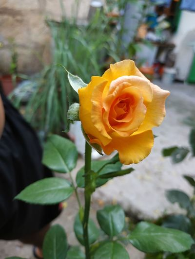 Rose is my