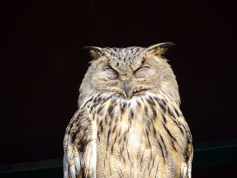 Close-up of an owl in front of a black background Animal Animal Head  Animal Themes Beak Bird Black Black Background Close-up Closed Eyes Ears EyeEm Best Shots EyeEm Nature Lover Feathers Freigestellt Front View Nature No People One Animal Orange Color Owl Resting Zoo