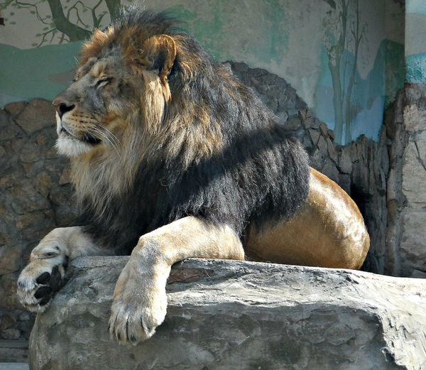 Lion Sitting On Rock Against Wall At Yekaterinburg Zoo