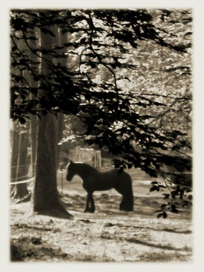 One Black Horse One Horse Forest Atmosphere Horse Theme Trees, Tree Framed Vision Frame Vintage - Horse In France
