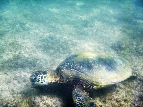 Sea Turtle Animal Themes Animal Wildlife Animals In The Wild Close-up Day EyeEnNewHere Nature No People One Animal Outdoors Reptile Sea Sea Life Sea Turtle Swimming Tortoise Tortoise Shell Turtle UnderSea Underwater Water