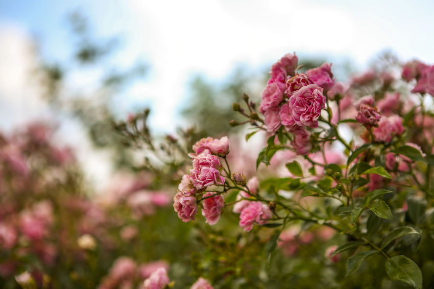 Beauty In Nature Blooming Blossom Botany Close-up Day Flower Flower Head Focus On Foreground Fragility Freshness Growth In Bloom Nature No People Outdoors Petal Pink Pink Color Plant Selective Focus Sky Stem Tranquility Twig