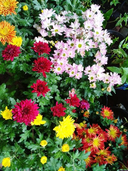 Chrysanthemums Flowers Chrysanthemum Flowering Plant Flowers Flowers Flower Garden Flower Gardens Bunga Flowers,Plants & Garden Garden Flowers Flower Collection Flowering Plant Indonesia Photography  Beauty Indonesia INDONESIA Flower Head Flower Yellow Petal Blooming Plant Close-up