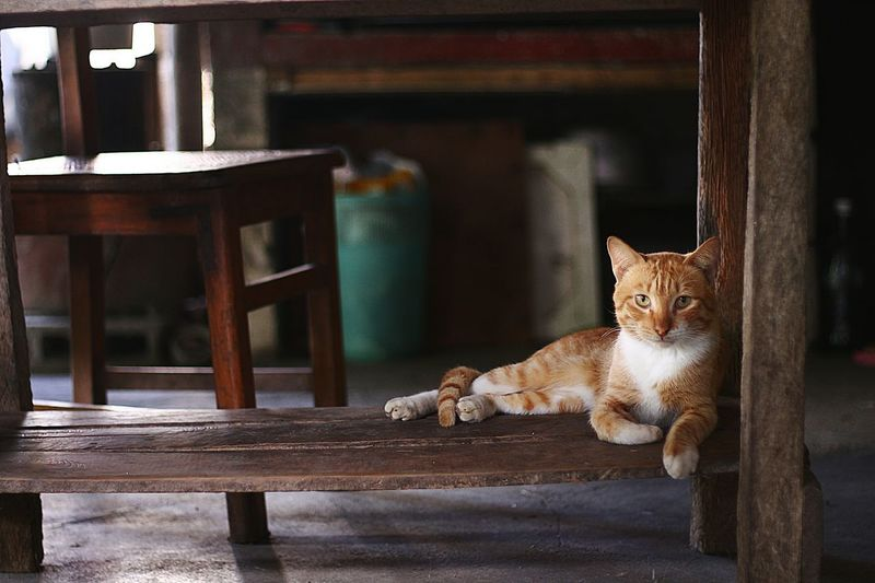 Portrait of cat relaxing table at home