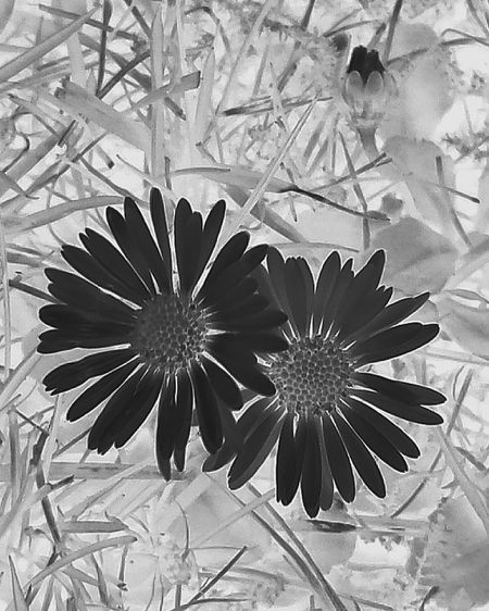 I experimented with this daisies capture and was surprised about the outcome of editing. Unexpectively love it 😊: Daisies Daisy Grass Knospe Daisy Flower Gänseblümchen B&w Nature Black & White Black & White Edit :)  Interesting Edit Ladyphotographerofthemonth Negative Effect Negative Art Art Photography Experimental Edit Experimenting With Different Effects Q for Quite Different Showcase March Things I Like