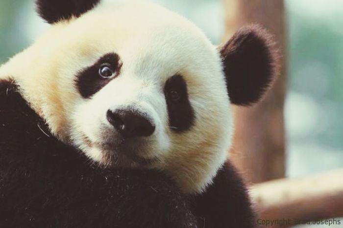 Panda Oso  Beard Bear Smile Cute Baby Animal Black And White PANDA ♡♡ Osito