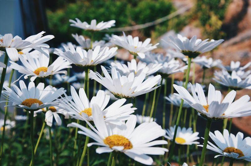 Papatya Flowers