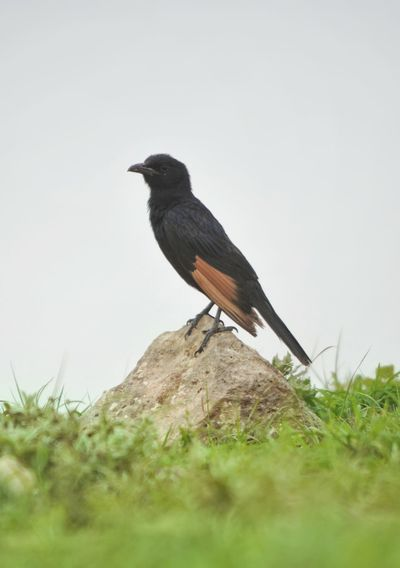 Oman Salalah Oman_photography Omani Travel Green Bird Perching Raven - Bird Tree Full Length Wilderness Songbird  Sky Grass Close-up Safari