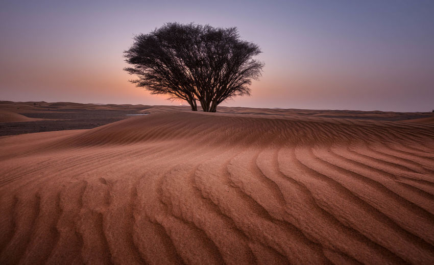 Tree On Sand Dune In Desert Against Clear Sky