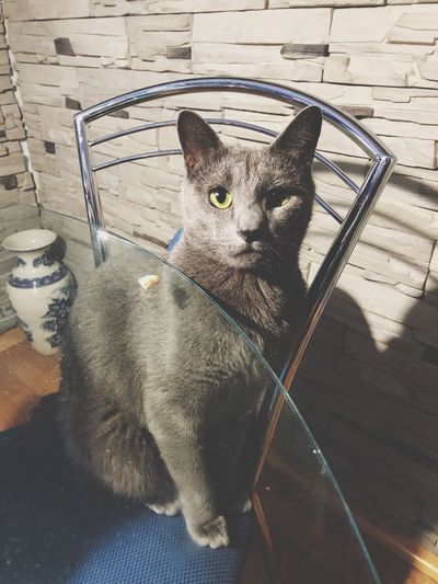 Russia Russian Blue Cat High Angle View Feline No People Chair Indoors  Sitting Day Portrait