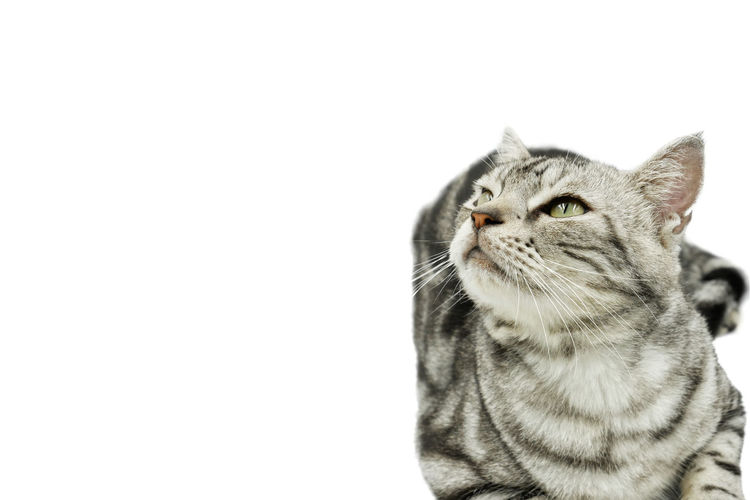 Close-up of a cat looking away over white background