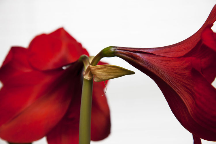Amaryllis plant with two red blossoms, white background. Beauty In Nature Close-up Flowering Plant Indoors  Nature No People Plant, Amaryllis, Studio, Design, Beauty, Nature, Red, Flower,macro Studio Shot White Background
