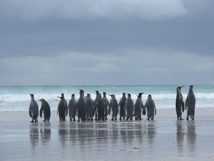 Group of king penguins by sea against sky