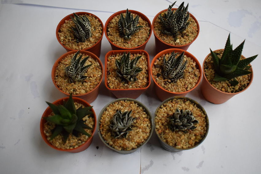 Cactus Haworth Haworthia Thailand Nature Plant Tree Cactus Collection Cactuslover Cactusshop Close-up Gymnocactus Gymnocalycium Haworthia Haworthiaattenuata Haworthias Nature_collection Plants And Flowers Potted Plant