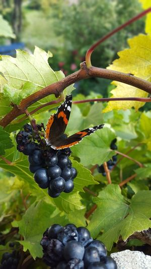 butterfly on my balcon Butterfly Butterfly - Insect Butterfly Collection Grape Grapes Autumn Samsung S8 Wallis EyeEmNewHere Balcony Leaf Green Color No People Day Animal Wildlife Close-up Animal Themes Nature Fruit Outdoors Plant One Animal Beauty In Nature