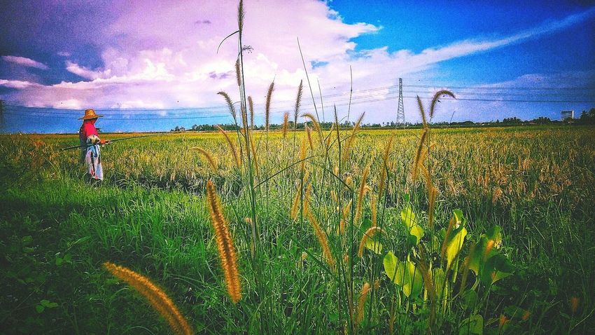 Rice Field Beauty In Nature Agriculture At Alor Setar Malaysia