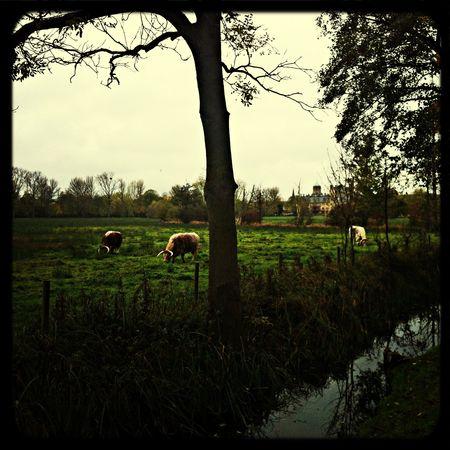Idyll Cows Sunday Walk