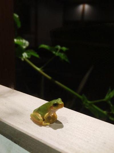 生きてます 雨蛙 雨上がり スポットライト